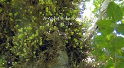 Ficus sicomorus The Sycomore fig