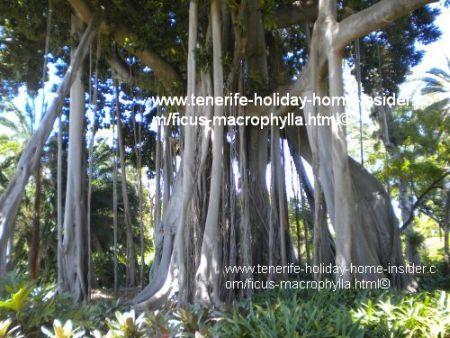 fig columns of  lord howe tree