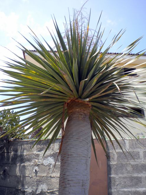 First time flowering Draco in Puerto de la Cruz of Tenerife Spain.