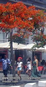 Flame trees Tenerife capital