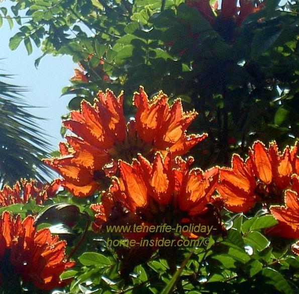 Gabon tulip tree flowers in red in la Sortija of Parque Taoro