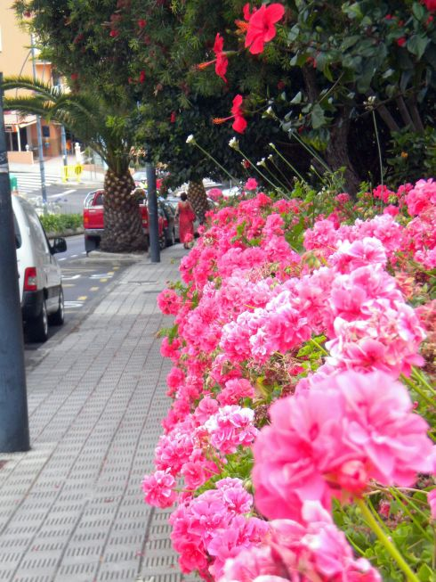 Geraniums on Avda.Canarias in 2016.
