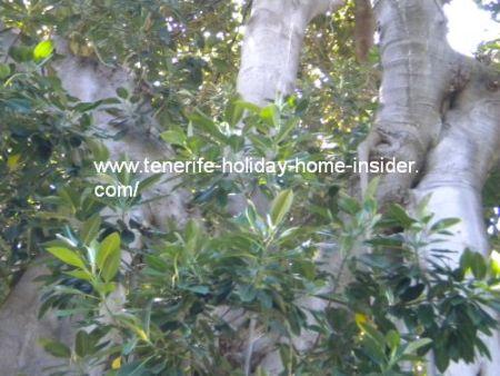 glossy green fig leaves