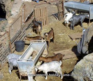 Goat keeping Tenerife Spain Canary Islands