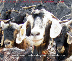 Mountain goat she goat close-up