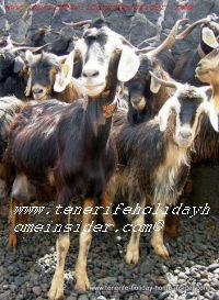 Goat picture mountain goat Tenerife she-goat