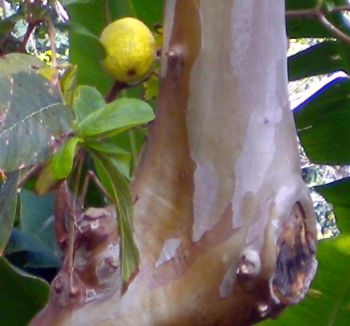 Typical smooth Guava tree stem with leaves and ripe fruit.