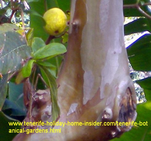 Guava tree with fruit and its typical trunk