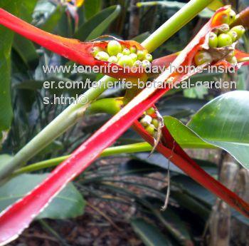 Heliconia Latispata