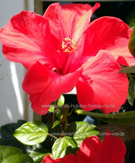 Hibiscus flower which abounds by a resale apartment