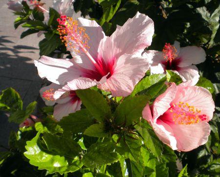 Pink Hibiscus bush or tree