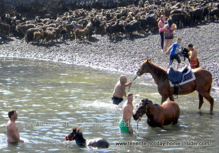 horses in the ocean in tenerife