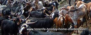 Indigenous Tenerife goats