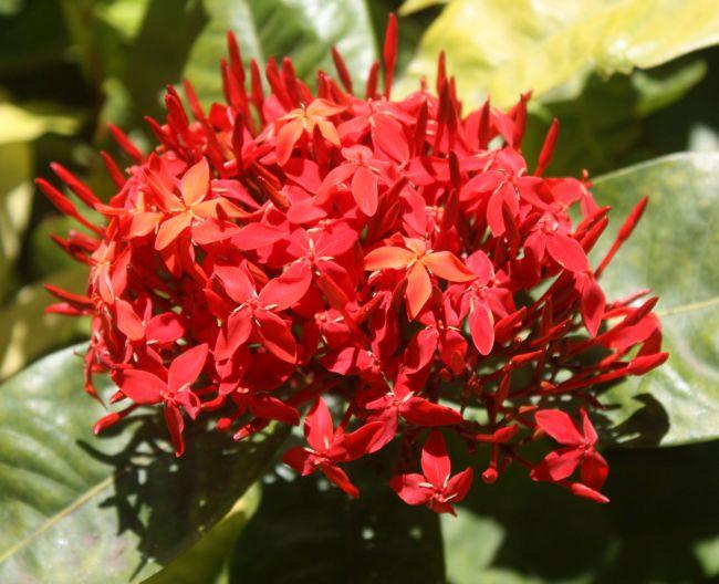 Red flowering Ixora bushes