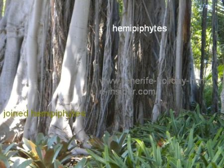 Joined hemipiphytes of a ficus columnaris
