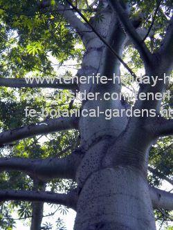 Kapok tree of the Amazon