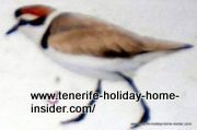 Kentish Plover female at El Medano