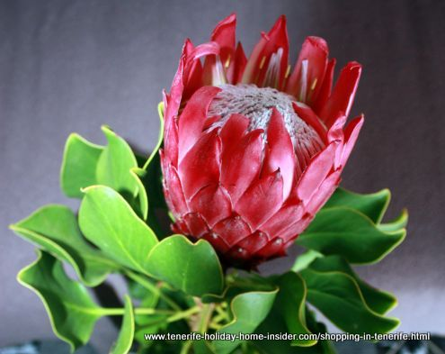 King Protea Cynaroides Palo Blanco from Tenerife