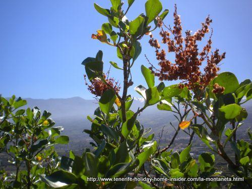 La Paradella Canaria of volcanic habitat Tenerife