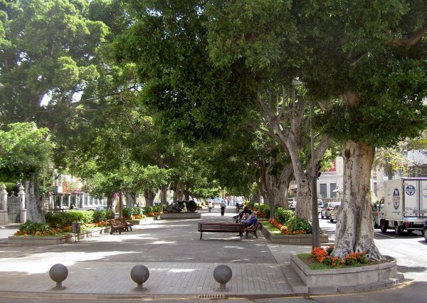 Laural trees of India on the Rambla.
