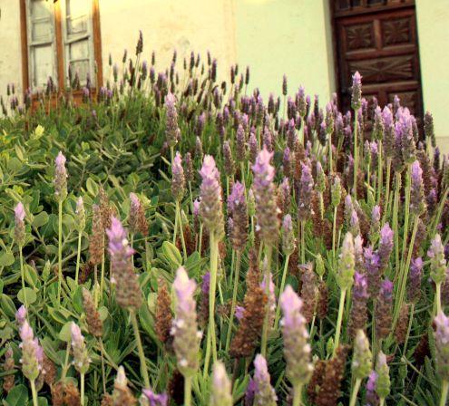 Lavender in Avenida Tres de Mayo near number 11 Realejo Alto.