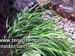 Lemo grass growing in Asian garden