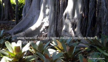 lord howe banyan tree in tenerife