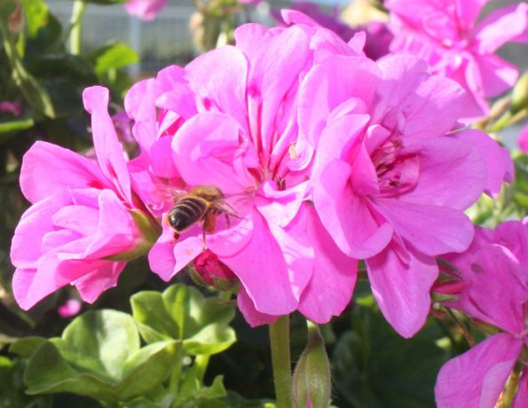 Los Realejos Tenerife wildlife with bee
