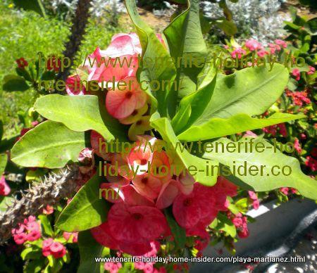 Madagascar Christ Thorn Euphorbia Millii
