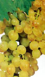 Malvasia blanca vine from Tenerife origin
