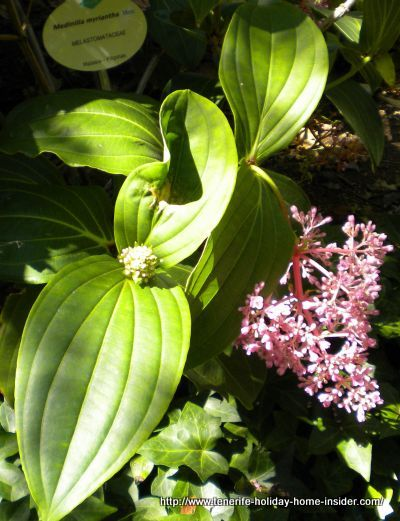 Medinilla Myrantha from Malayasia bush with pink flowers