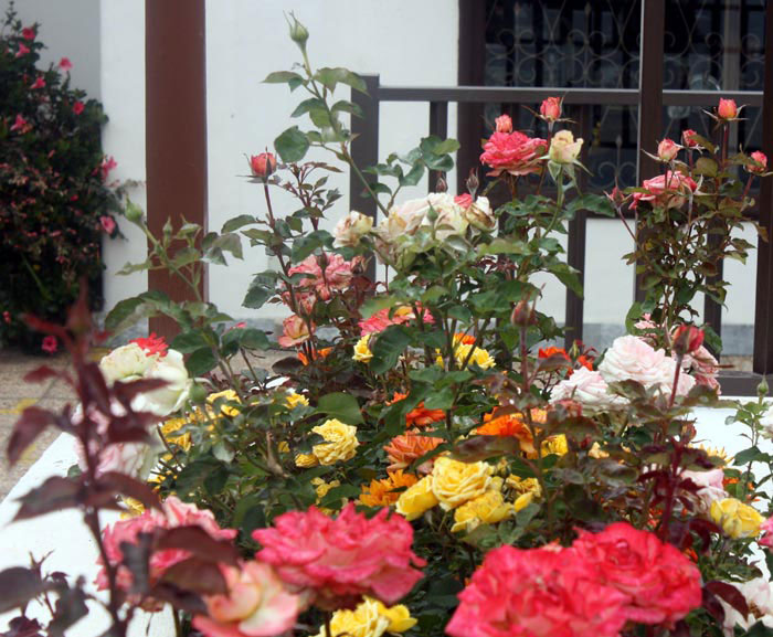 Multi colored roses of La Paz Puerto Cruz