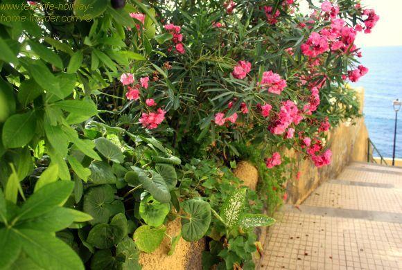 Oleander in Calle Tegueste a Punta brava ocean alley.