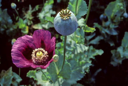 Opium capsule of purple Turkish Papaver somniferum