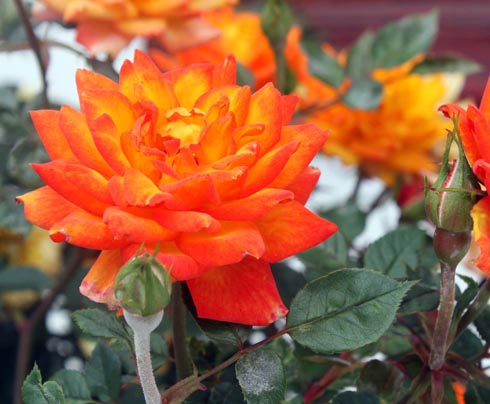 Orange rose of the Canary Center
