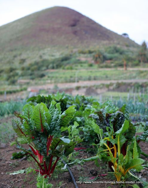 Organic produce farm by a volcanic cone