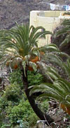 Palm with burned black trunk in Masca Tenerife