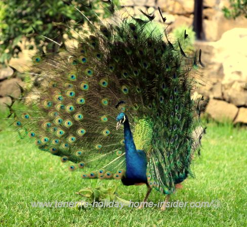 Peacock is giving a show.