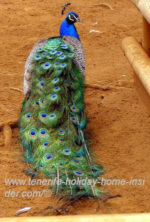 Peafowl seen from behind with magnificent green and blue feather-coat.