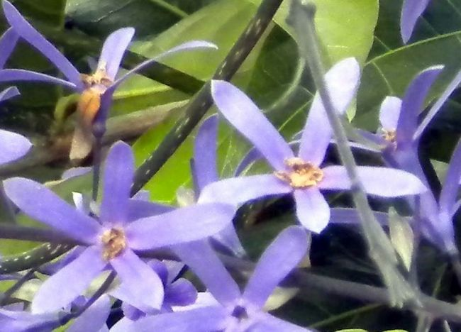 Petrea volubilis climber with small blue flowers.