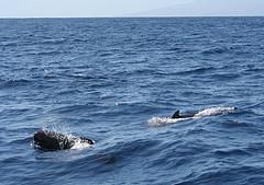Pilot whale blows