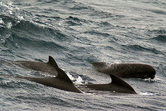 Pilot whale group