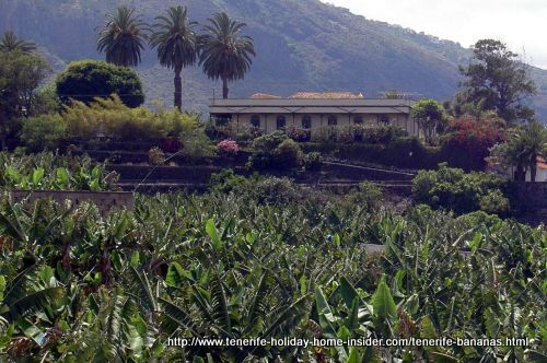 Platanos de Canarias Cavendish growing at Toscal Longuera