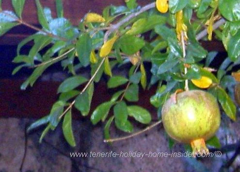 A ripe Pomegranade overhead on a climber  in the veranda corner of Casa Pana.