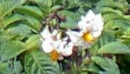 Potato flower at Upper Icod of Los Realejos.