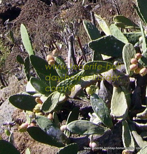 Cochineal cactus