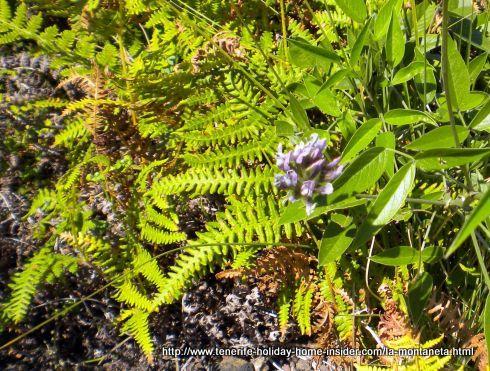 Pteridium aquilinium ferns-590