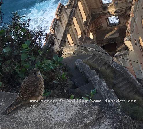 Rambla de Castro Falcon habitat of Tenerife in Los Realejos at the Casa del Agua the awesome, but highly popular ruin of Barranco Gordejuela.