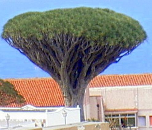 2nd oldest Tenerife dragon tree.