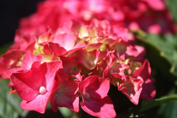 Red hydrangeas at Plaza Iglesia Catalina